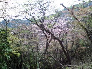 20060422sakura.jpg